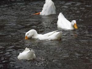 Pond Ballet