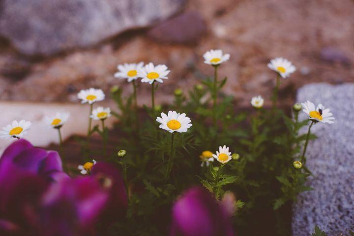 Daisy, Oh Daisy! - Danielle McFarland Photography