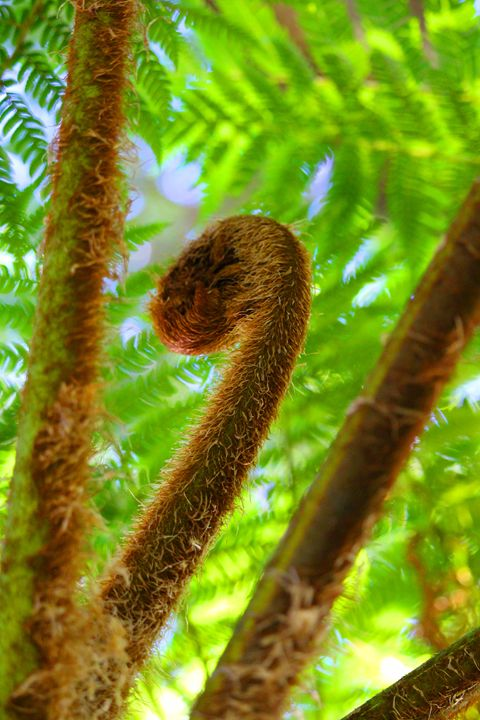 Tree Fern - Stella