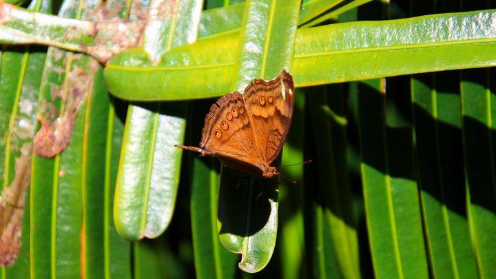 Brown Butterfly - Stella