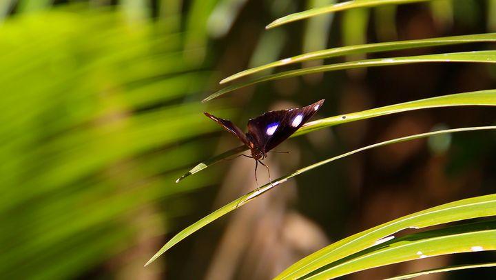 Purple Butterfly - Stella