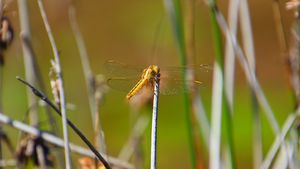 Yellow Dragonfly back