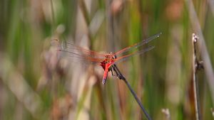 Red Dragonfly back