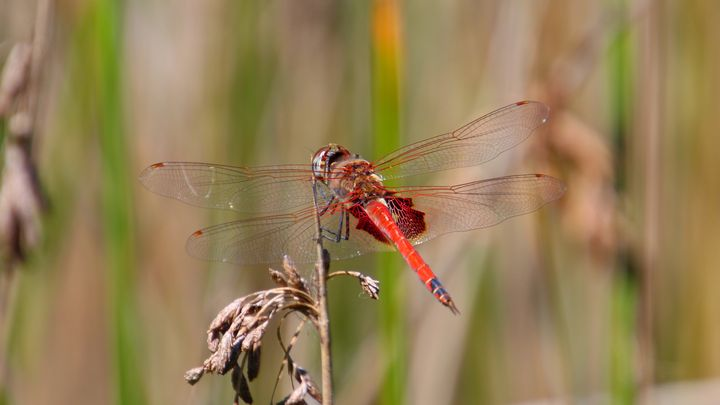 Red Dragonfly - Stella