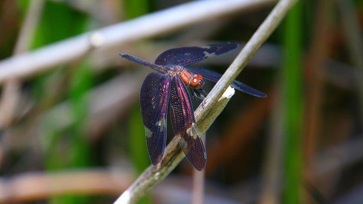 Rainbow Dragonfly - Stella