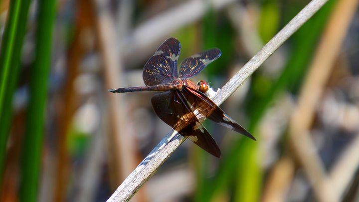 Black Dragonfly - Stella