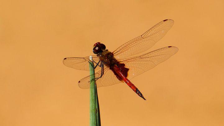Red Dragonfly - Stella