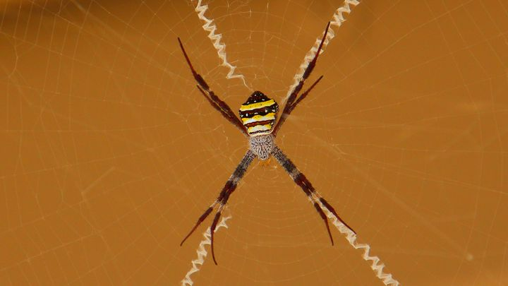 Cross Spider - Stella