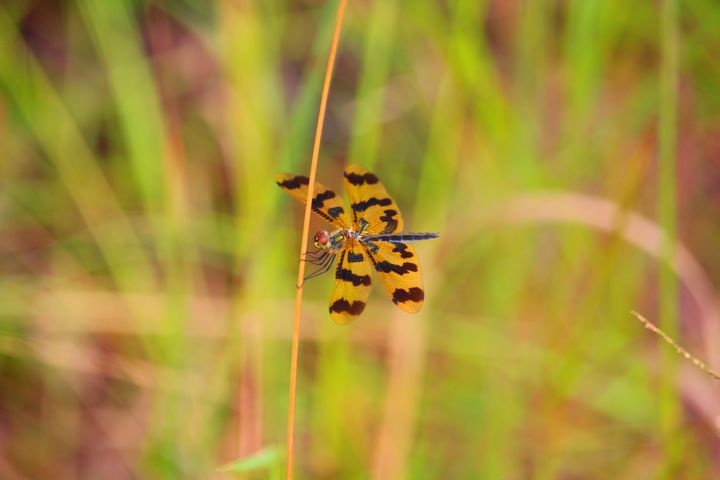Orange Dragonfly - Stella