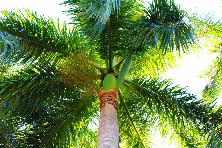 Palm - Stella
