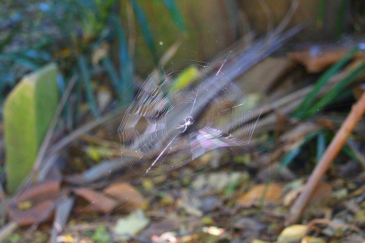 Spider - Stella