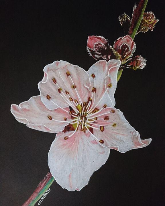 Cherry Blossom - The Chameleon