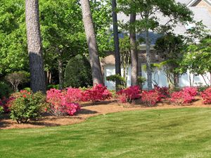Azaleas in the Spring