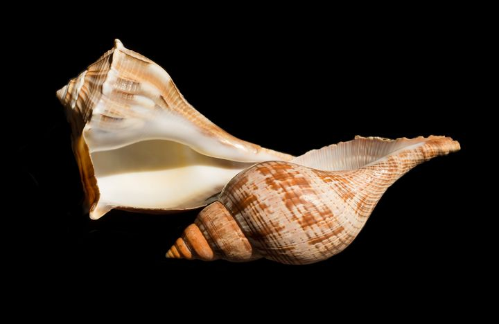 Whelk and True Tulip Seashells - helen geld