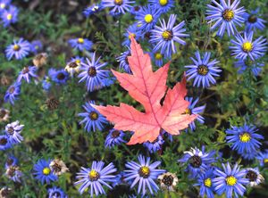 Autumn Leaf and Asters