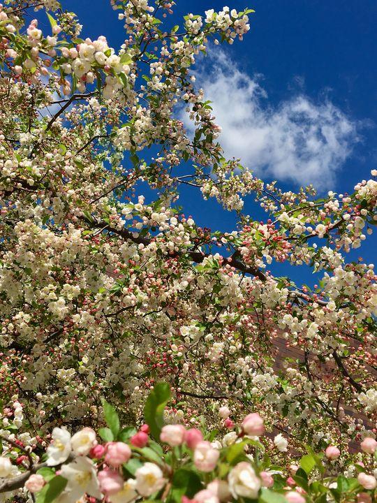Pink & White Flower Tree - AJ