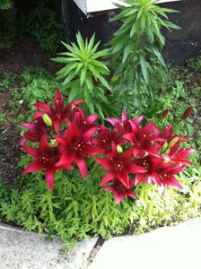 Deep Red Lillies