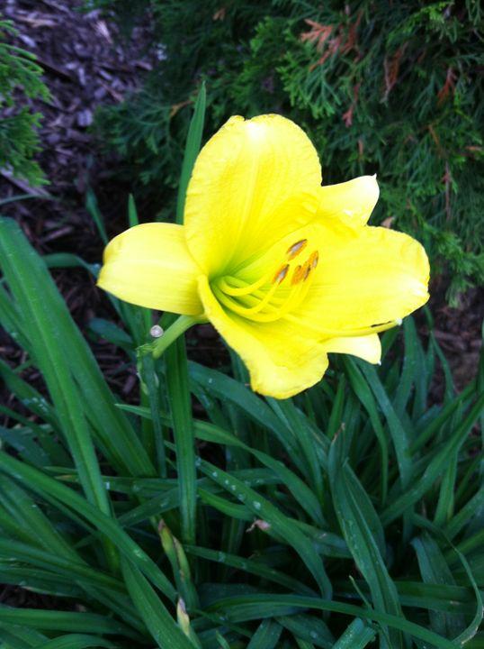 Yellow Lily - Rick Hobson