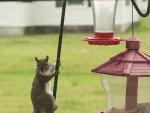 Robber Squirrell