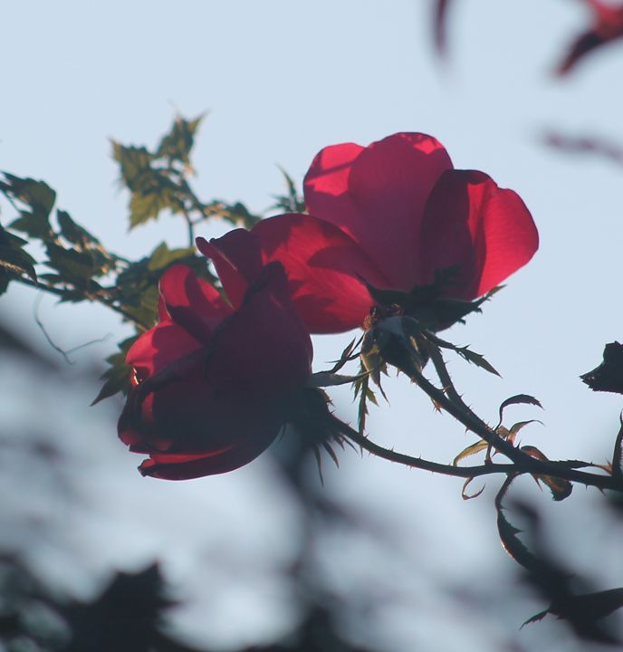Fading Rose - Michael's Seeking Light Photography