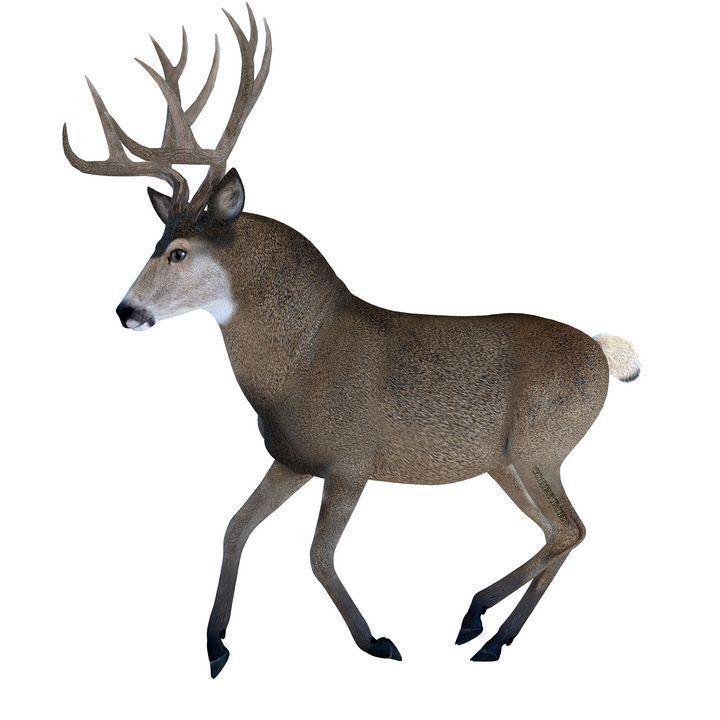 Male Mule Deer - Corey Ford Gallery LLC