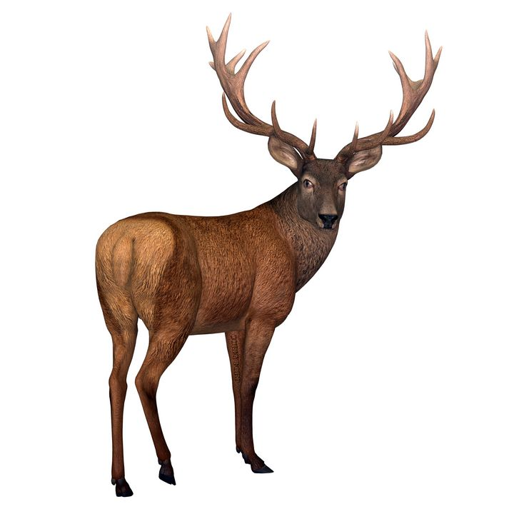 Red Stag Deer - Corey Ford Gallery LLC