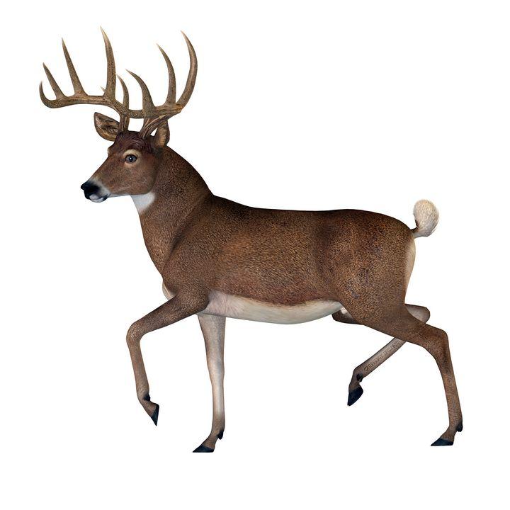 Whitetail Buck - Corey Ford Gallery LLC
