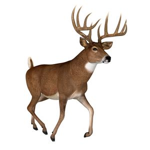 Whitetail Buck Trotting