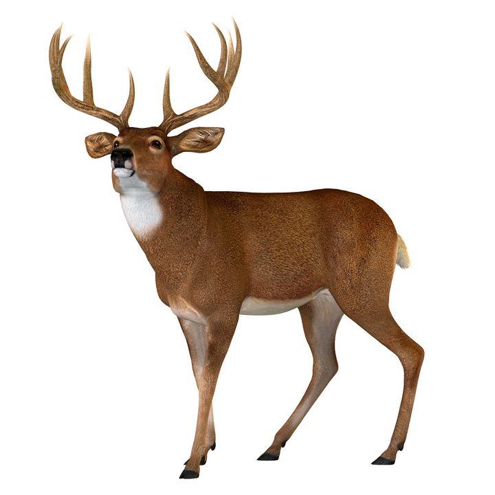 Whitetail Buck Walking - Corey Ford Gallery LLC