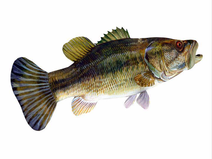 Redeye Bass Tail - Corey Ford Gallery LLC