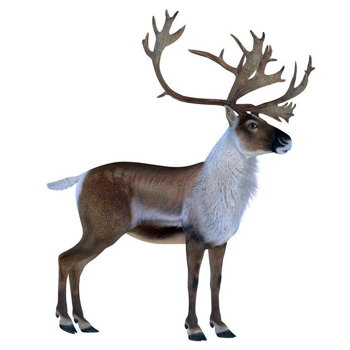 Caribou Buck - Corey Ford Gallery LLC