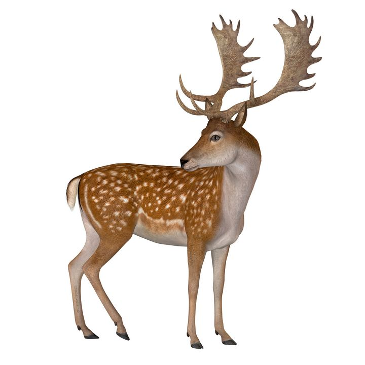 Fallow Deer Buck - Corey Ford Gallery LLC