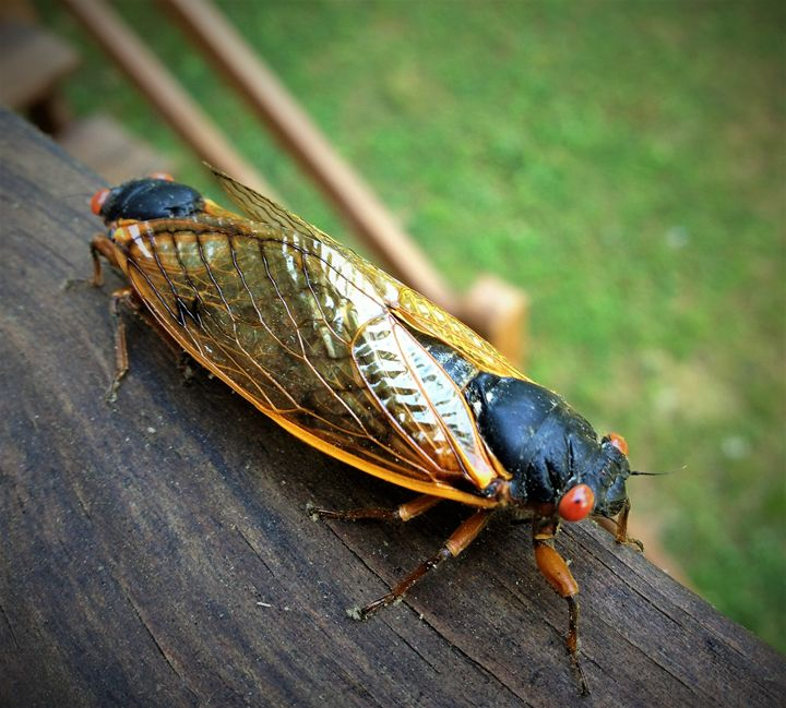 17 year cicada Photo - SLPeders