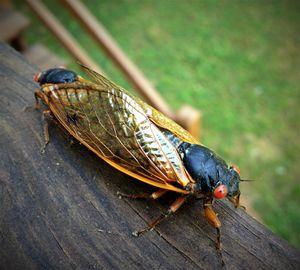 17 year cicada Photo - SLPeders