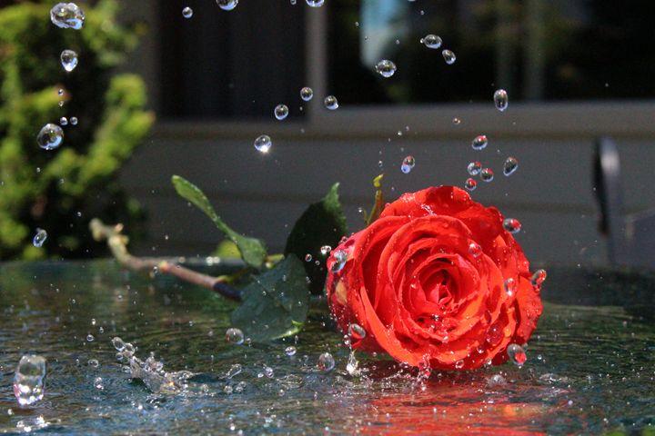 Rose -  Stringer.julieanne