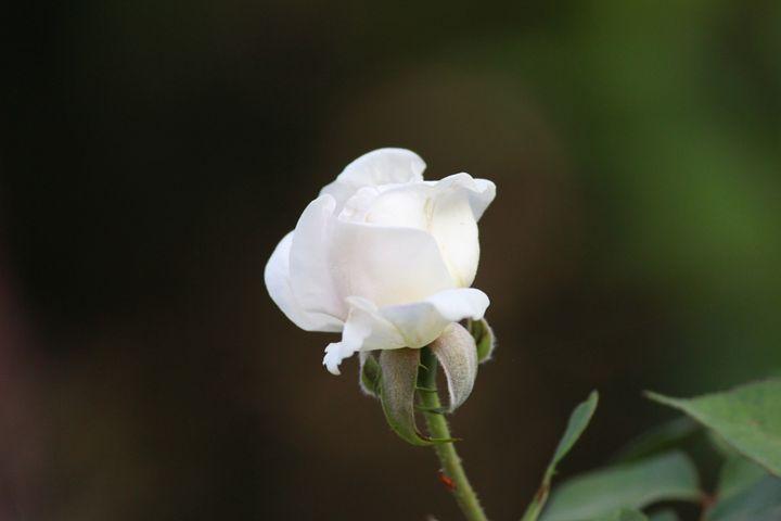 The white rose - UD artworks