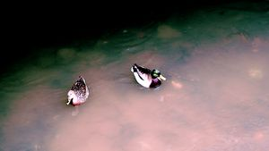Ducks in Murky Waters