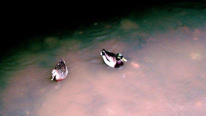 Ducks in Murky Waters - wxlfsangel
