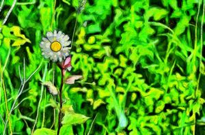 Lonely chamomile