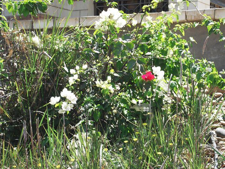 spring roses - jehan Ezzat