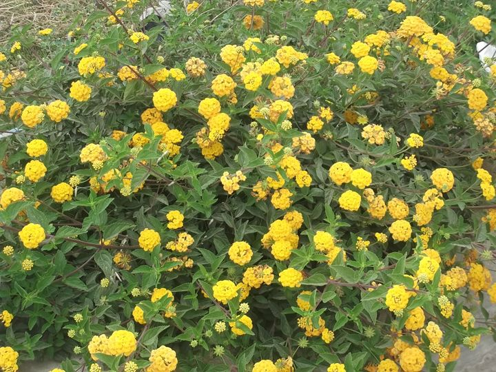 small yellow roses - jehan Ezzat