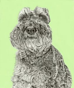 Schnauzer pencil drawing