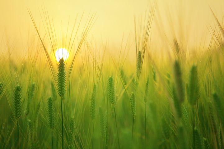Barley Field - FriendlyChimpArt