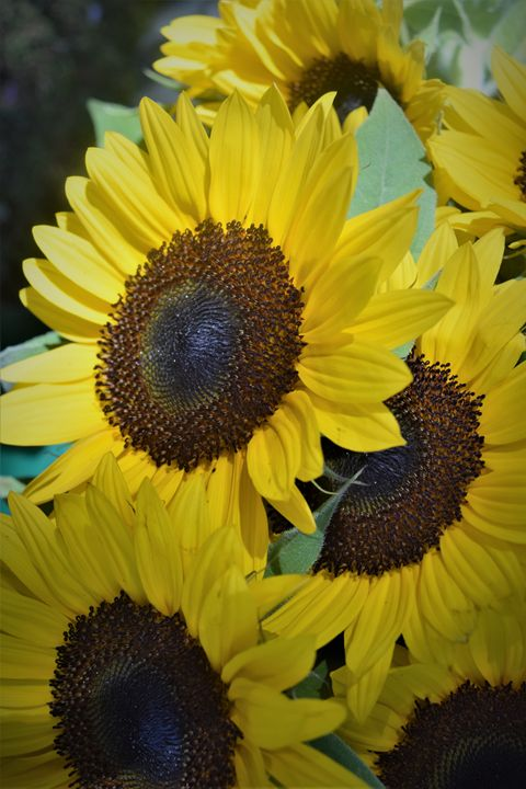 Sunflowers - dizzeelizzee