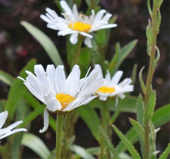 Daisy - dizzeelizzee