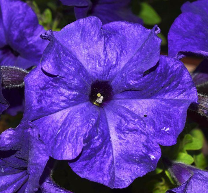 Petunia - dizzeelizzee