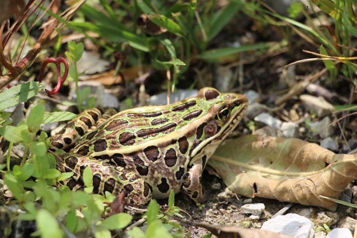 Northern Leopard Frog - Jenna Lynn