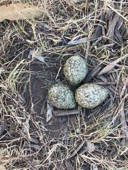 Plover Eggs - Julia's Watermarks