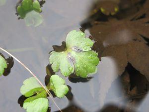 Pond Clovers