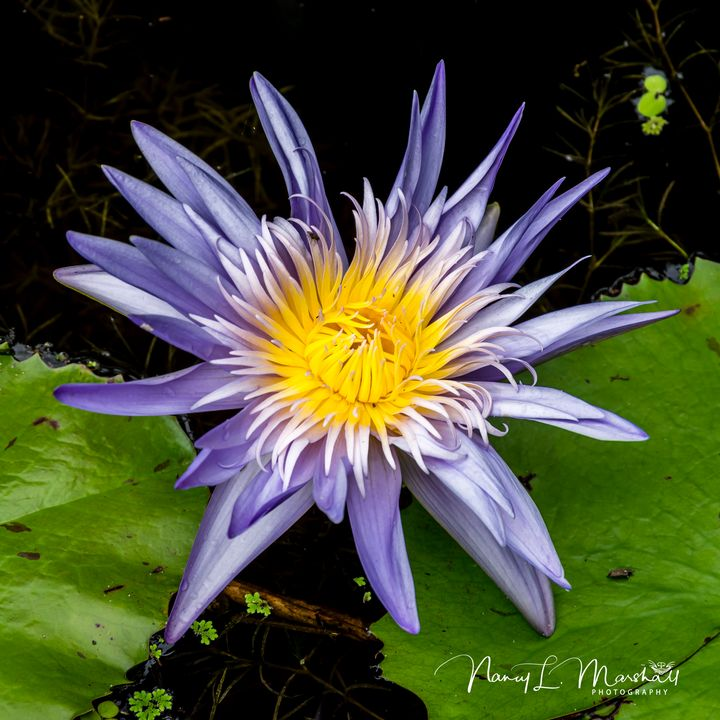 Water Lily 2 Signed - ccgrin